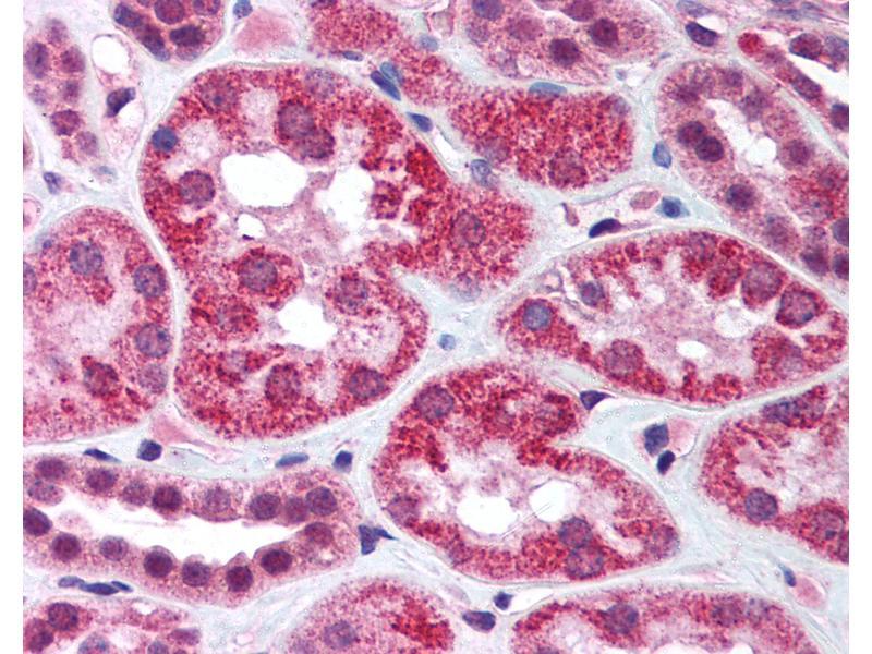 Immunohistochemistry (IHC) image for anti-Apoptosis-Inducing Factor, Mitochondrion-Associated, 1 (AIFM1) (AA 593-606) antibody (ABIN305789)