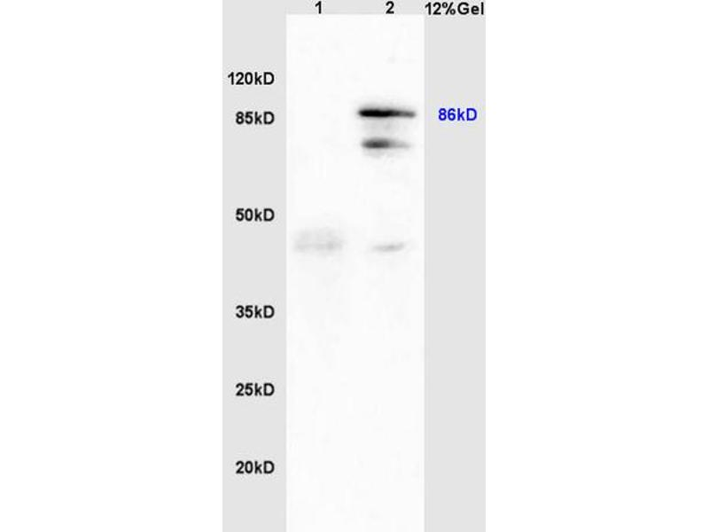 SDS-PAGE (SDS) image for anti-Heat Shock Protein 90kDa beta (Grp94), Member 1 (HSP90B1) (AA 550-600) antibody (ABIN726125)