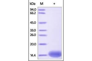 SDS-PAGE (SDS) image for Fatty Acid Binding Protein 1, Liver (FABP1) (AA 2-127) (Active) protein (His tag) (ABIN2181051)
