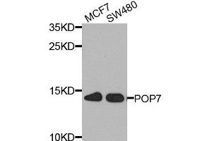 Image no. 1 for anti-Processing of Precursor 7, Ribonuclease P/MRP Subunit (S. Cerevisiae) (POP7) antibody (ABIN6145967)