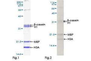 Image no. 1 for Mitogen-Activated Protein Kinase 14 (MAPK14) (AA 1-360) protein (GST tag) (ABIN1310279)