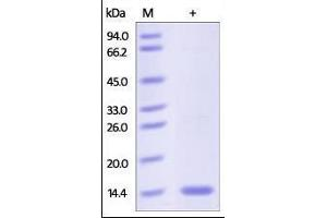Image no. 1 for Fatty Acid Binding Protein 6, Ileal (FABP6) (AA 2-128) protein (His tag) (ABIN2181058)