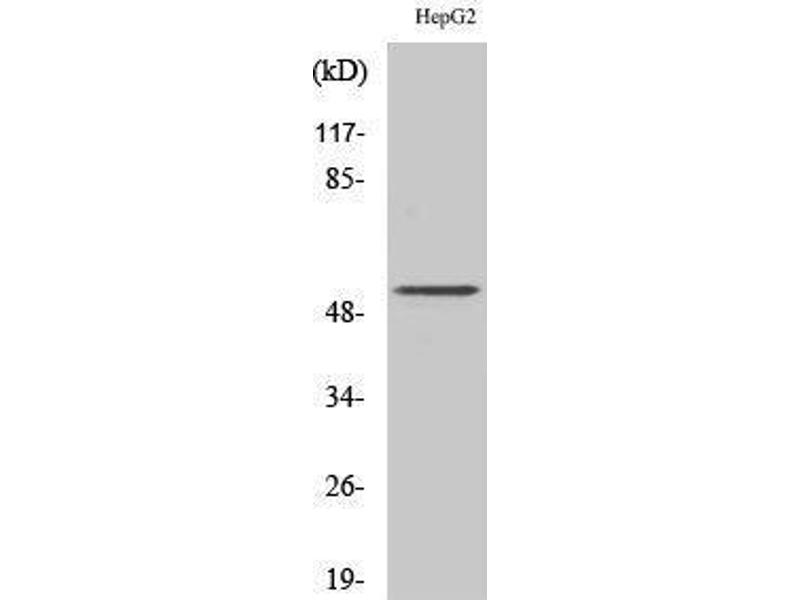 Western Blotting (WB) image for anti-Proteasome (Prosome, Macropain) 26S Subunit, Non-ATPase, 12 (PSMD12) (Internal Region) antibody (ABIN3186585)