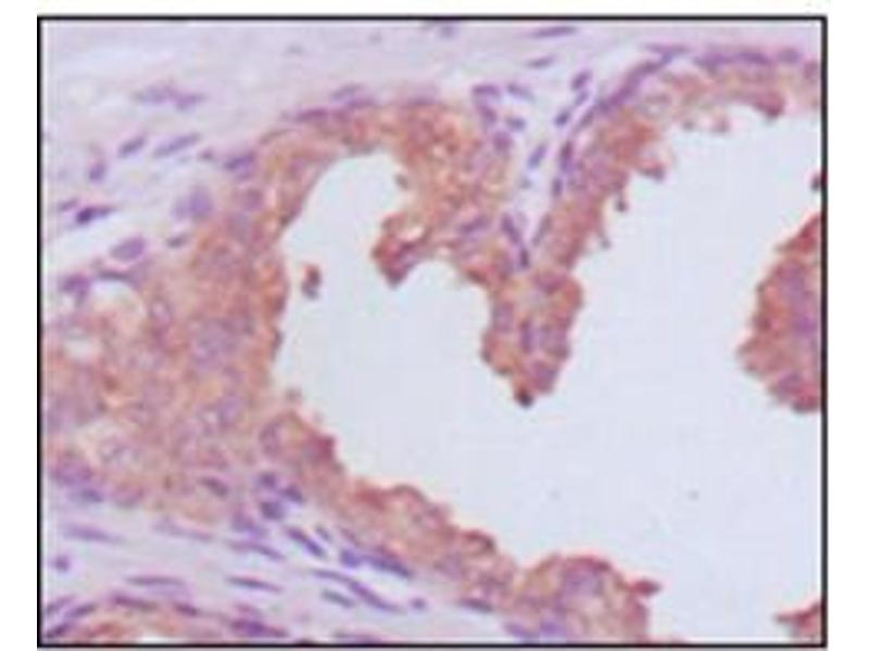 Immunohistochemistry (IHC) image for anti-Prostate Specific Antigen (PSA) antibody (ABIN1107902)