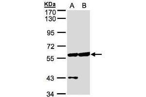 Image no. 2 for anti-Copine III (CPNE3) (Center) antibody (ABIN2856543)