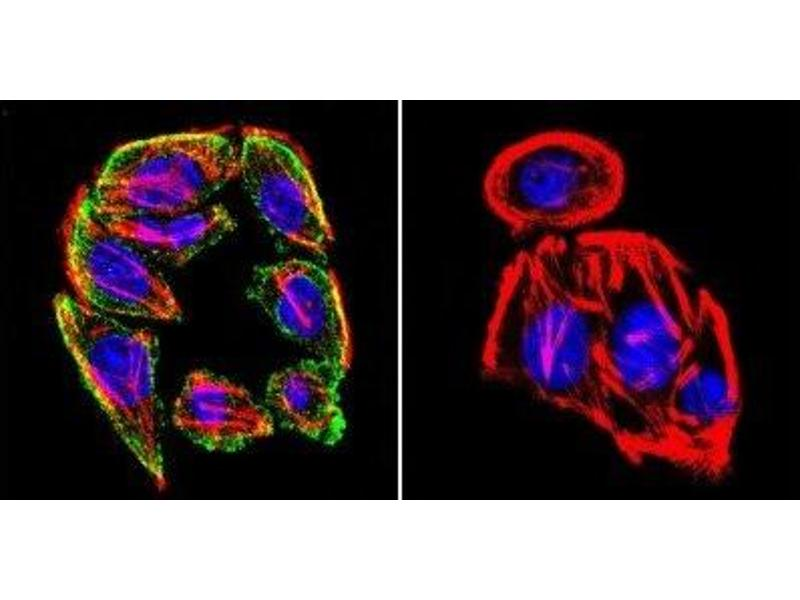 Immunofluorescence (IF) image for anti-Prolactin Receptor antibody (PRLR) (ABIN152690)