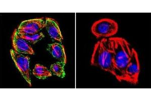 Immunofluorescence (IF) image for anti-Prolactin Receptor (PRLR) antibody (ABIN152690)