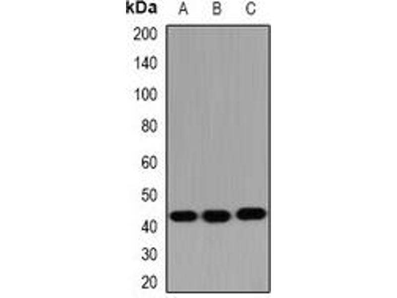 Western Blotting (WB) image for anti-Hydroxysteroid (17-Beta) Dehydrogenase 2 (HSD17B2) antibody (ABIN3198131)