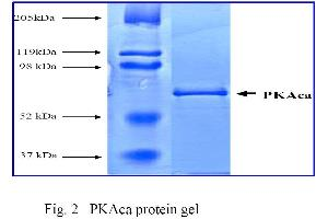 SDS-PAGE (SDS) image for Protein Kinase A, alpha (PRKACA) (Active) protein (ABIN411950)