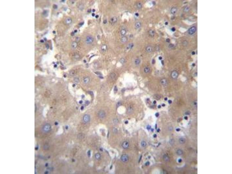 Immunohistochemistry (Paraffin-embedded Sections) (IHC (p)) image for anti-Six5 (AA 264-294), (Middle Region) antibody (ABIN954812)