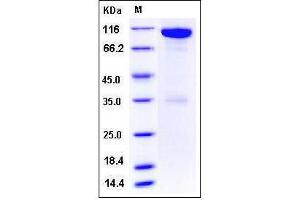 Image no. 1 for EPH Receptor A6 (Epha6) (AA 1-546), (Extracellular Domain) (Active) protein (Fc Tag) (ABIN2008076)