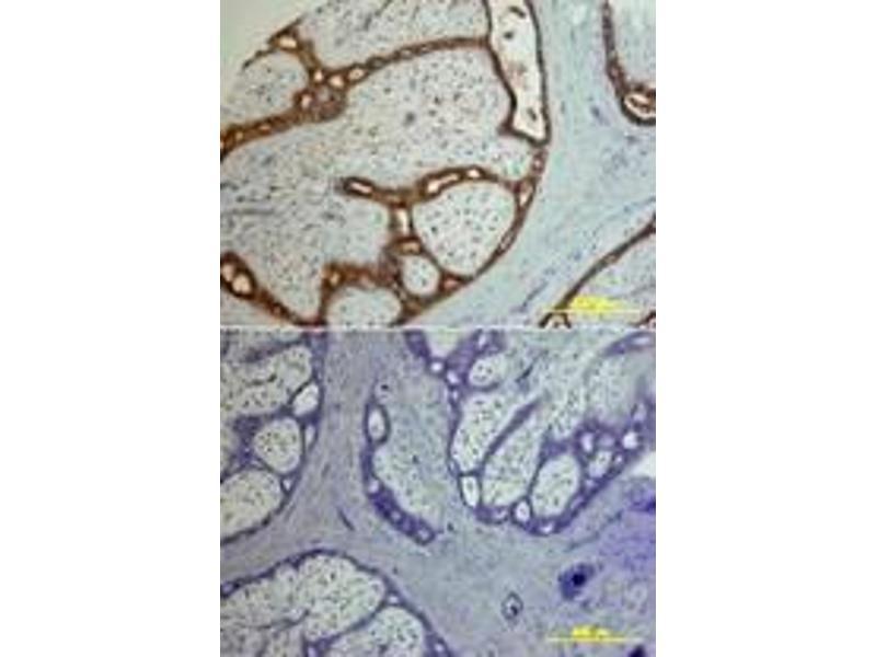 image for anti-Amphiregulin antibody (AREG) (ABIN958036)