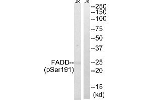 Western Blotting (WB) image for anti-FADD antibody (Fas (TNFRSF6)-Associated Via Death Domain) (Ser191) (ABIN2164813)