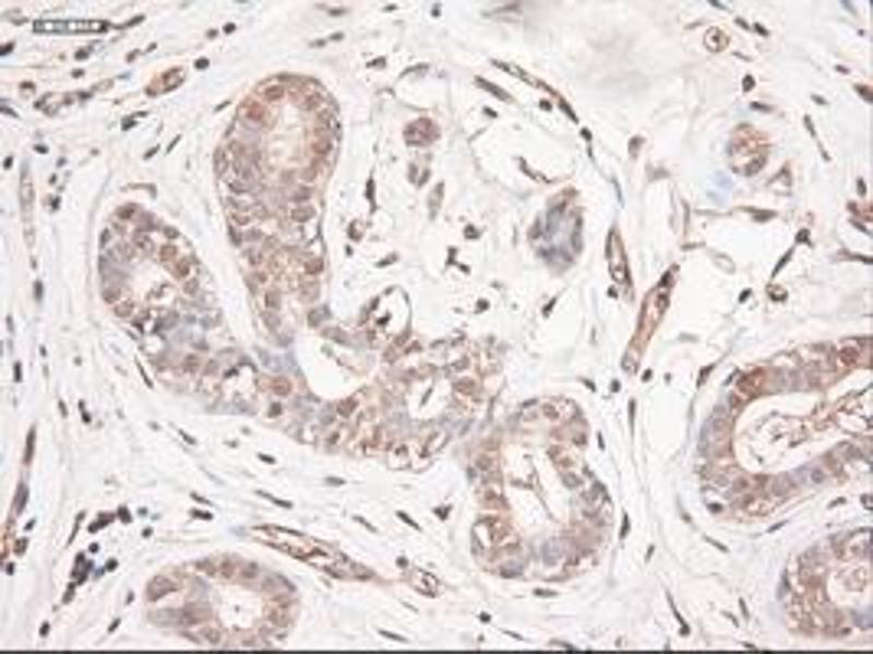 Immunohistochemistry (IHC) image for anti-Neurotrophin 3 antibody (NTF3) (AA 139-257) (ABIN2452548)