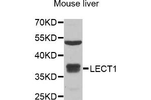 Image no. 1 for anti-Leukocyte Cell Derived Chemotaxin 1 (LECT1) antibody (ABIN6570595)