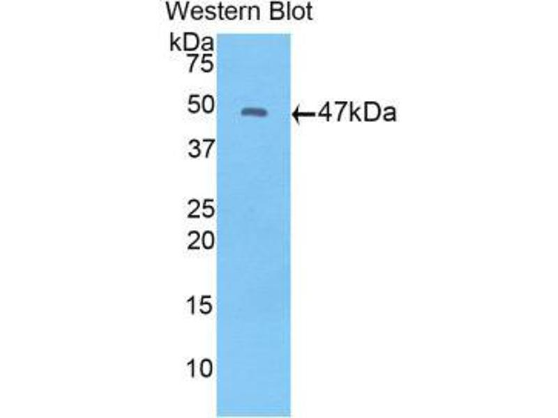 Western Blotting (WB) image for anti-Fibroblast Growth Factor 10 (FGF10) (AA 37-209) antibody (ABIN1858863)