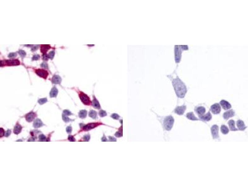 image for anti-Frizzled Family Receptor 6 (FZD6) (N-Term) antibody (ABIN122081)