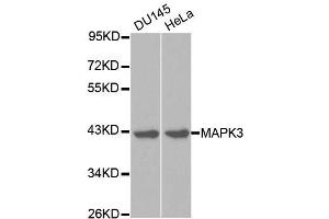 Western Blotting (WB) image for anti-Mitogen-Activated Protein Kinase 3 (MAPK3) (N-Term) antibody (ABIN3020725)