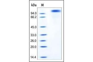 Image no. 1 for Receptor tyrosine-protein kinase erbB-2 (ErbB2/Her2) (AA 23-653) protein (His tag) (ABIN2181042)