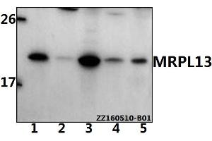 Image no. 1 for anti-Mitochondrial Ribosomal Protein L13 (MRPL13) (AA 125-169) antibody (ABIN6711074)