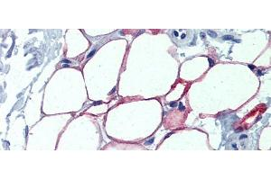 Image no. 2 for anti-Nuclear Factor I/C (CCAAT-Binding Transcription Factor) (NFIC) (Middle Region) antibody (ABIN2792686)