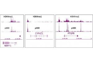 ChIP DNA-Sequencing (ChIPSeq) image for anti-E1A Binding Protein P300 (EP300) antibody (ABIN2668569)