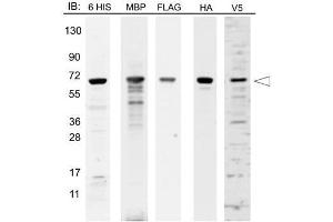 Western Blotting (WB) image for Epitope Tag Protein Marker Lysate (ABIN925598)
