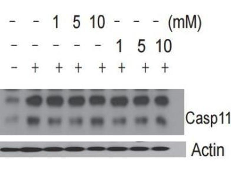 Western Blotting (WB) image for anti-Caspase 4 antibody (Caspase 4, Apoptosis-Related Cysteine Peptidase) (ABIN265762)