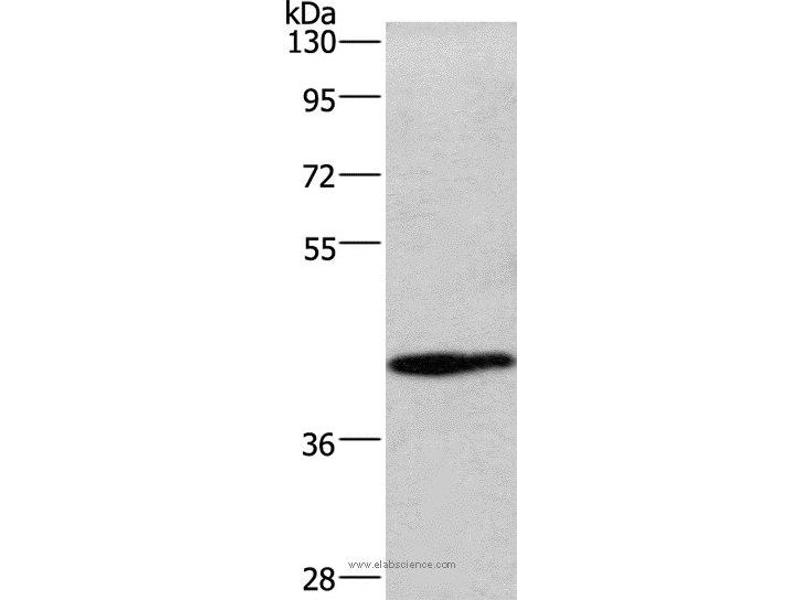 Western Blotting (WB) image for anti-WNT3A antibody (Wingless-Type MMTV Integration Site Family, Member 3A) (ABIN2423159)