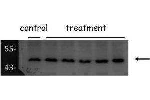 Image no. 2 for anti-Origin Recognition Complex, Subunit 4 (ORC4) (C-Term) antibody (ABIN2855900)