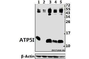 Image no. 1 for anti-ATP Synthase, H+ Transporting, Mitochondrial F0 Complex, Subunit E (ATP5I) (AA 50-100) antibody (ABIN6713483)