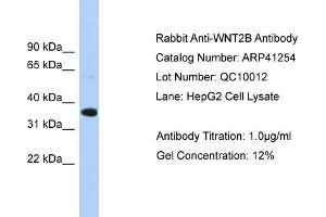 Western Blotting (WB) image for anti-WNT2B antibody (Wingless-Type MMTV Integration Site Family, Member 2B) (Middle Region) (ABIN2776710)