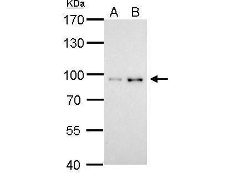 Western Blotting (WB) image for anti-Signal Transducer and Activator of Transcription 3 (Acute-Phase Response Factor) (STAT3) (C-Term) antibody (ABIN2855865)
