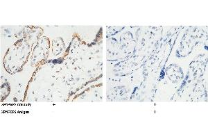 Image no. 1 for anti-X-Prolyl Aminopeptidase (Aminopeptidase P) 2, Membrane-Bound (XPNPEP2) (AA 1-650) antibody (ABIN1999389)