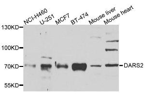 Image no. 3 for anti-Aspartyl-tRNA Synthetase 2, Mitochondrial (DARS2) antibody (ABIN6139409)