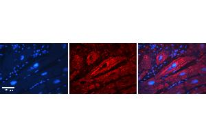 Image no. 2 for anti-Solute Carrier Family 26, Member 3 (SLC26A3) (Middle Region) antibody (ABIN2777377)