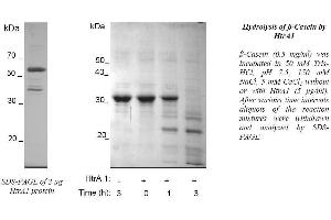 image for HtrA Serine Peptidase 1 (HTRA1) protein (His tag) (ABIN368667)
