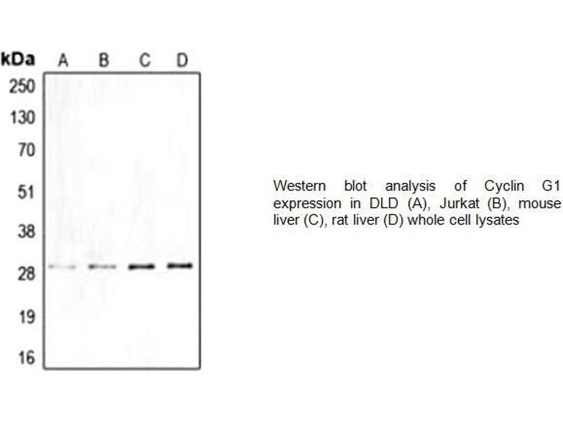 Western Blotting (WB) image for anti-Cyclin G1 (CCNG1) (Center) antibody (ABIN2487037)
