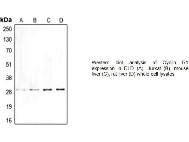 Western Blotting (WB) image for anti-Cyclin G1 (CCNG1) (Center) antibody (ABIN2487037)
