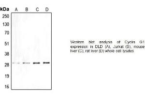 Western Blotting (WB) image for anti-Cyclin G1 antibody (CCNG1) (Center) (ABIN2487037)