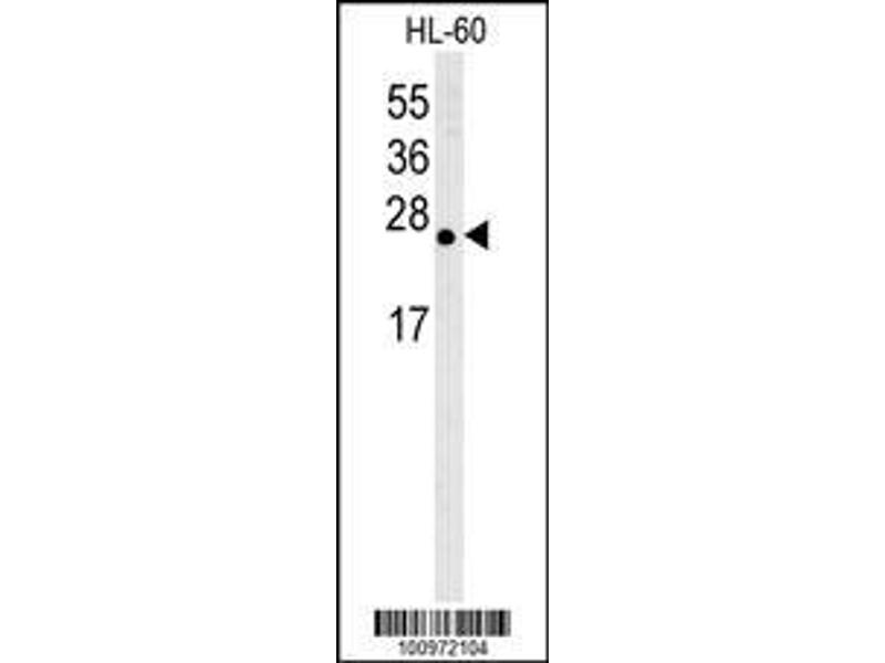 Western Blotting (WB) image for anti-BCL2-Like 2 (BCL2L2) (AA 24-59), (BH3 Domain) antibody (ABIN388097)