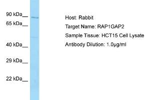 Image no. 1 for anti-RAP1 GTPase Activating Protein 2 (RAP1GAP2) (N-Term) antibody (ABIN2790573)