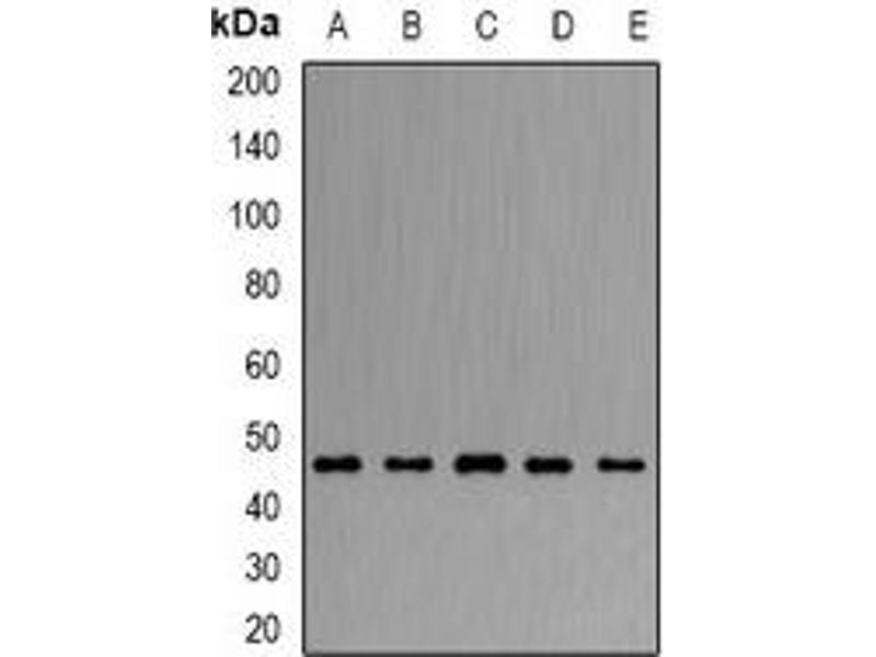 Western Blotting (WB) image for anti-ARFGAP1 antibody (ADP-Ribosylation Factor GTPase Activating Protein 1) (ABIN3197892)