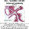anti-SCARB2 antibody (Scavenger Receptor Class B, Member 2) (Internal Region)