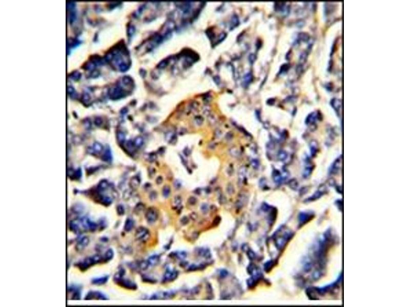 Immunohistochemistry (Paraffin-embedded Sections) (IHC (p)) image for anti-Signal Recognition Particle 72kDa (SRP72) (AA 126-156), (Middle Region) antibody (ABIN453397)