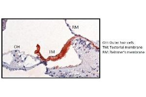 Image no. 2 for anti-Carcinoembryonic Antigen-Related Cell Adhesion Molecule 16 (CEACAM16) antibody (ABIN1381739)