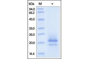 Image no. 1 for CD83 (CD83) (AA 20-143) protein (His tag) (ABIN2180847)