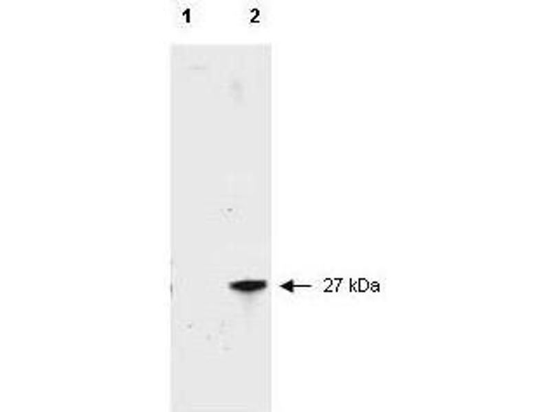 Western Blotting (WB) image for anti-Red Fluorescent Protein (RFP) (AA 234) antibody (ABIN129578)