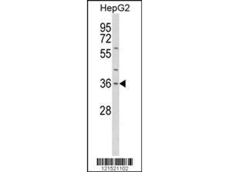 Western Blotting (WB) image for anti-IL1A antibody (Interleukin 1 alpha) (AA 177-206) (ABIN652257)