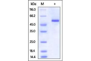 Image no. 1 for Tumor Necrosis Factor Receptor Superfamily, Member 25 (TNFRSF25) (AA 25-199) protein (Fc Tag) (ABIN2870819)